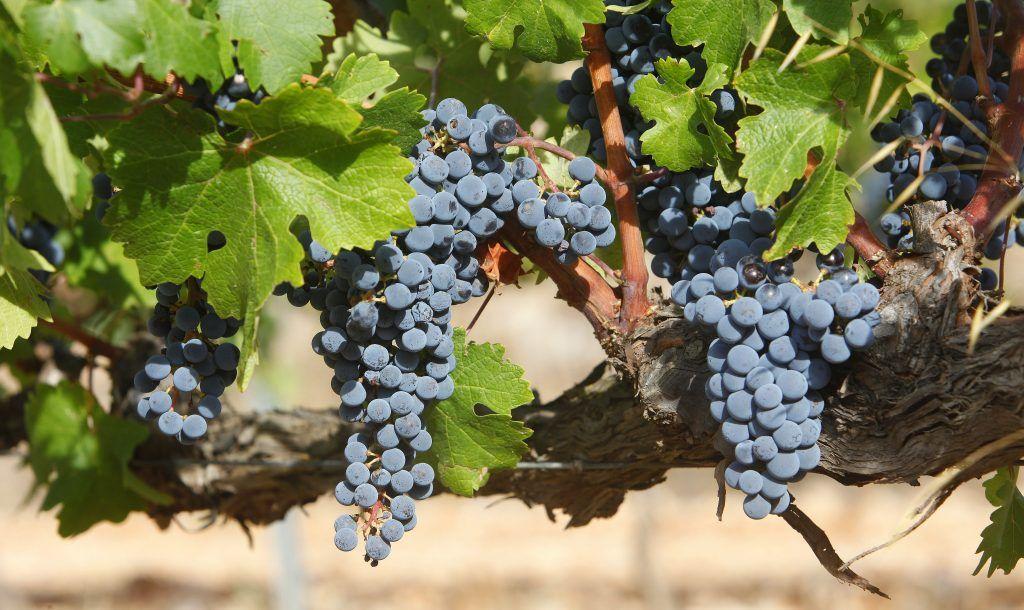 Icono es el vino que patrocina el festival VLC NEGRA.